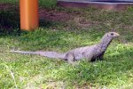 40_A_small_monitor_lizard_(Waran)_at_Rebak_island