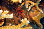 40_Small_lionfish_in_Acropora_colony_Barren_ISland_(Lenz_Gunther)