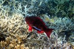 53_Parrot_fish_at_cleaning_station_Barren_Island_(Lutz_Brigitte)