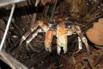 16_A_huge_coconut_crab_(Birgus_latro)_walking_aound_Ile_Boddam