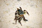 40_Shore_crab_(Grapsus_sp)_on_beach