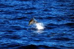 58_Jumping_Indopacific_bottlenose_dolphin_(Tursiops_aduncus)