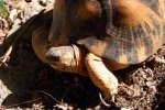 23_The_radiated_tortoises_(Astrochelys_radiata)_are_much_smaller