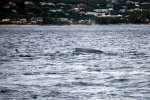 13_Two_humpback_whales_(Megaptera_novaeangliae)_feeding