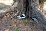 18_White-tailed_tropicbird_(Phaeton_lepturus)_nesting_on_the_ground_at_Ilot_Gabriel
