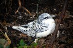 19_Young_white-tailed_tropicbird_(Phaeton_lepturus)_still_in_his_nest