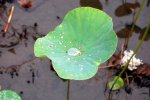 20_Lotos_effect_on_lotos_flower_(Nelumbo_sp)