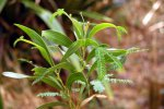 09_Leaves_of_the_endemic_tamarin_des_hauts_(Acacia_heterophylla-Höhentamarinde)