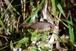 45_One_of_the_introduces_birds_a_common_waxbill_(Estrilda_astrild-Wellenastrild_Prachtfink)