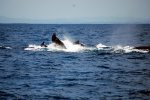 16_One_of_the_whales_even_waving_goodbye_before_moving_on_towards_the_south