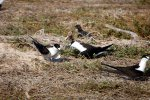 09_ Sooty_terns_oing_some_mating_dance