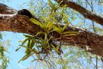 15_Orchids_on_a_tree
