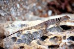 16_Unidentified_agame_or_iguanian_lizard_sitting_on_the_rocks