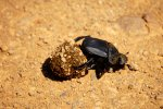 08_Dung_beetle_(Scarabaeidae-Mistkaefer)_doing_his_work_and_rolling_some_dung