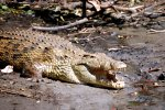 25_One_of_the_many_Nile_Crocodiles_(Crocodylus_niloticus-Nilkrokodil)_in_St._Lucia