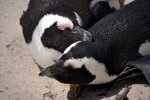 13_African_Penguins_are_monogamous_and_like_to_cuddle