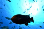 02_Billions_of_Black_Durgeon_Triggerfish_eat_everything_from_the_rocks-Melichthys_niger_(Schwarzer_Weissbindendrueckerfisch)