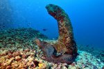 03_Goldentail_Moray_defending_her_anchor-Gymnothorax_miliaris_(Goldschwanz_Muraene)