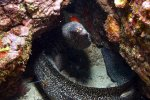 16_Goldentail_Moray_getting_cleaned_by_Scarlet_Cleaner_Shrimp-Lysnata_amboinensis_(Weissband-Putzergarnele)