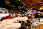18_Scarlet_Cleaner_Shrimp_cleaning_my_nails