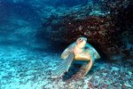 22_Two_female_Green_Turtles_were_just_resting_under_rocks-Chelonia_mydas_(Suppenschildkroeten)