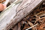 25_Very_young_landcrab_hiding_under_wood