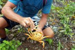 27_All_crabs_we_found_were_male_because_the_females_are_alread_on_the_way_to_the_ocean_to_lay_their_eggs