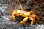 28_Landcrabs_spend_most-of_the_day_in_burrows_coming_out_at_night_when_it_is_cooler