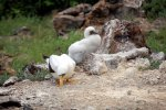 35_Masked_Booby_and_chick_at_Letterbox