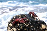 44_Some_Sally_Lightfood_crabs_(Grapsus_adscnsionis-Rote_Klippenkrabbe)_enjoying_the_waves_at_English_Bay