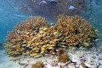 03_A_school_of_French_grunt_hiding_around_corals-Haemulon_flavolineatum_(Franzosen_Grunzer)