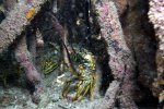 15_And_even_more_Caribbean_spiny_lobsters_hiding
