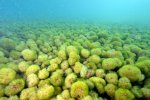 19_Parts_of_the_reef_are_grown_over_by_green_algae
