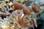 27_Social_feather_duster_worms_enjoying_the_current-Bispira_brunnea_(Roehrenwurm)