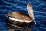 25_A_brown_Pelican_(Pelecanus_occidentalis)_was_very_interested_in_our_boat