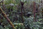 35_Tree_ferns_in_the_cloud_forest_(Baru_NP)