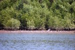 41_Lots_of_gulls_sitting_on_the_sand_at_low_tide_(mangrove_forest_Pedregal)