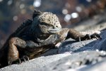 21_Marine_Iguanas_are_even_able_to_climb_up_a_stone_wall