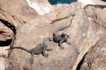 22_Marine_Iguanas_warming_up_in_town
