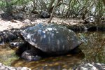46_Chelonoidis_chatamensis_(Galapagos-Riessenschildkröte)_the_saddleback_tortoises_of_San_Cristobal_in_the_breeding_center