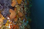 13_The_wall_is_full_with_sea_fans_or_gorgonian_corals_and_sponges_(Gorgonien_und_Schwämme)