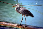 02_A_Great_Blue_Heron_(Ardea_herodias-Kanadareiher)_with_a_wingspan_of_nearly_2_meters_hunting_near_the_fishmarket