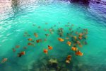 03_This_group_of_Golden_Cownose_Rays_(Rhinoptera_steindachneri-Goldrochen)_seems_to_be_permanently_around_in_Academy_Bay