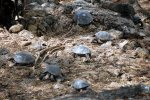 07_In_the_CDRC_they_are_breeding_all_10_living_species_of_Galapagos_Giant_Tortoises_which_get_released_into_the_wild_when_they_are_5_years_old