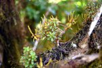 30_Galapagos_Peperomia_(Peperomia_galapagensis-Galapagos-Zwergpfeffer)_a_herb_with_fleshy_leaves_growing_on_a_Tree_Scalesia