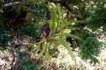31_Bromeliad_(Racinea_insularis-Bromeliengewaechs)_is_an_epiphyte_and_member_of_the_Pineapple_Family