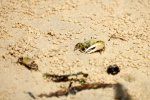 48_If_you_look_closely_you_can_find_lots_of_Fiddler_Crabs_(Uca_helleri-Winkerkrabben)_between_the_mangroves