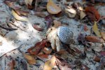 53_Plenty_of_Hermit_Crabs_(Einsiedlerkrebs)_walking_around_the_mangroves_on_the_beaches