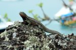 54_Lava_lizard_(Microlophus_albermarlenisi-Lavaechse)_which_is_found_on_ten_islands