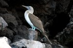 57_Blue-footed_Booby_(Sula_nebouxii_excisa-Blaufusstoelpel)_resting_in_Academny_Bay